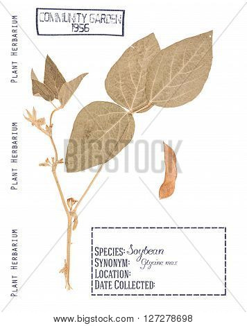 Herbarium pressed plant soybeans. The leaves stem flower and pod isolated on white