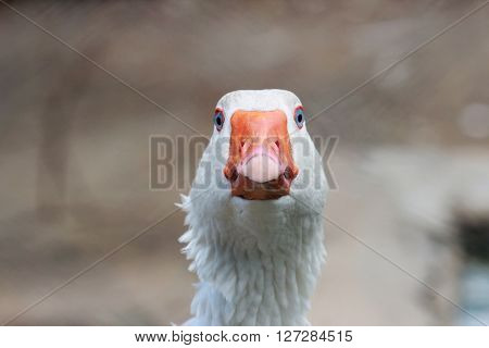 White goose head frontal portrait close up