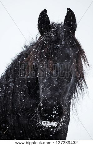 Portrait of a black Friesian horse mare. Friesian horse and snowfall.