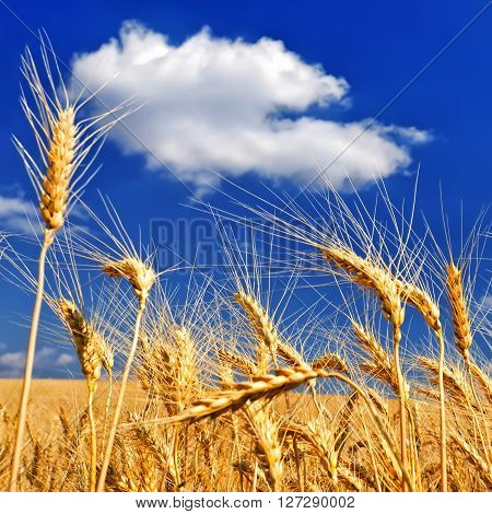 Wheat ears against the dark blue sky in hot summer day