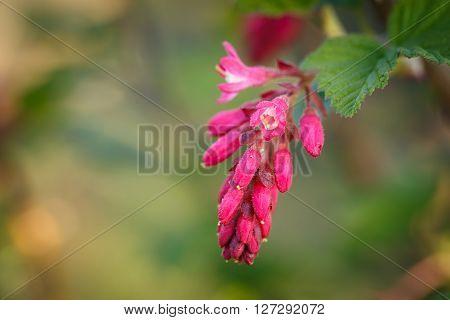 Ribes sanguineum flowering currant bloom in spring