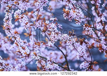 Blossoming branch with with flowers of Prunus cerasifera. Spring flowers background.