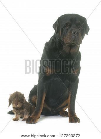 puppy Wire haired dachshund and rottweiler in front of white background
