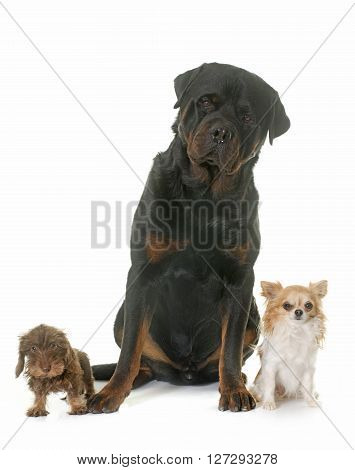 puppy Wire haired dachshund chihuahua and rottweiler in front of white background