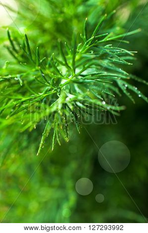 Sprigs of fresh dill with water drops. Selective focus. ** Note: Visible grain at 100%, best at smaller sizes
