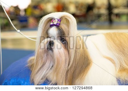 Well groomed Shih-tzu with long fur - at the exhibition
