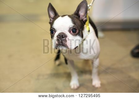 Well groomed Boston-terrier portrait - at the exhibition