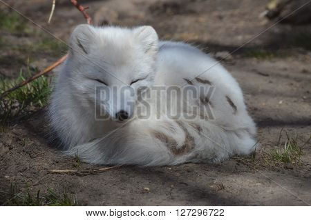 An Arctic Fox curled up on the ground ** Note: Soft Focus at 100%, best at smaller sizes