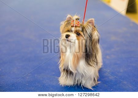 Well groomed Biewer Yorkshire terrier - at the exhibition