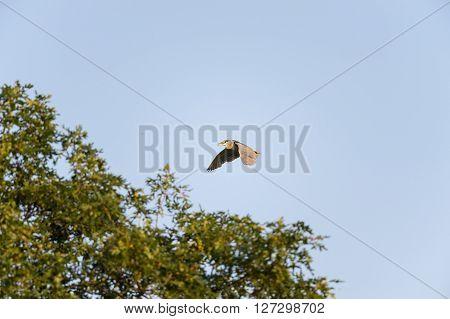Black-crowned Night-Heron adult flying toward tree line
