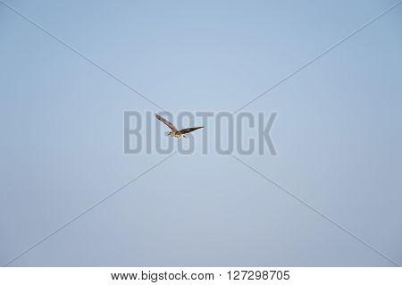 Immature Black-crowned Night-Heron in flight with wings spread