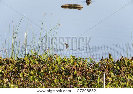 Green Heron framed by netting and curving stalk