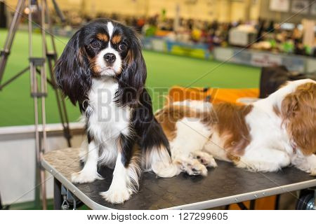 Black King Charles Spaniel dog - at the exhibition
