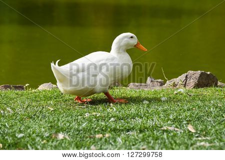 White duck is walking on grass, near lake.