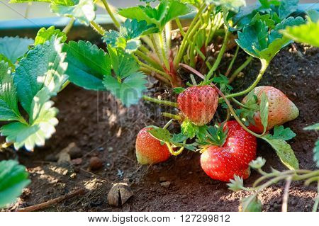 ripe strawberry growing in fram , fresh fruit berry