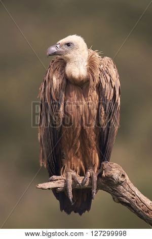 Griffon vulture sitting on a branch in its habitat