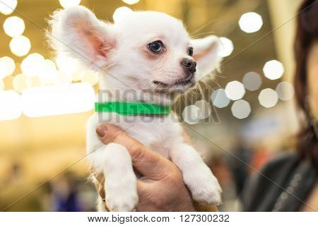 Little papillon puppy in the groomers hands - dog exhibition