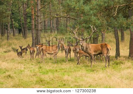 Deer herd in the forest with onde male red deer stag guarding the herd