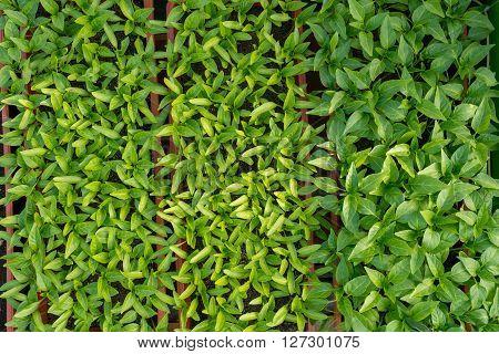 Pepper Seedlings Growing In A Greenhouse - Top View