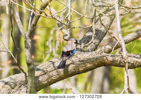 An Eurasian Jay Perched on the Tree