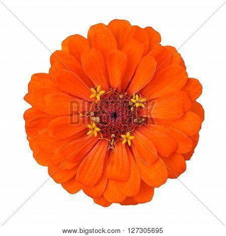orange flower isolated on a white background