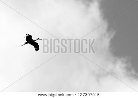 Black and white photo with flying stork