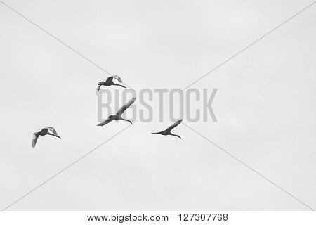 Black and white photo with flying swans