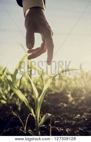 Male hand in an elegant business suit reaching down to touch a young corn plant growing in a field lit with bright sun retro effect faded look.