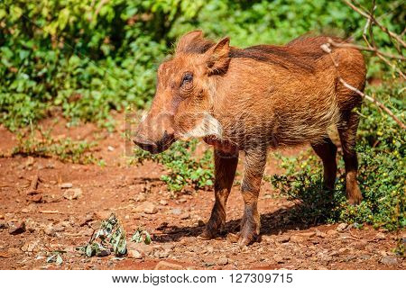 Warthog coming out of the bushes in the Maasai Mara national park (Kenya)