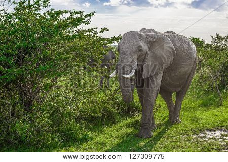 Big African elephant walking through the bushes in the Maasai Mara national park (Kenya)