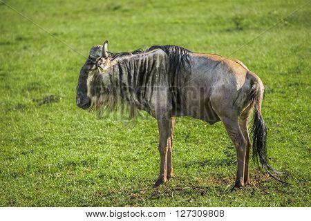 Wildbeest in the Maasai Mara national park (Kenya)