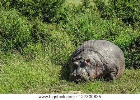 Hippo resting in the grass in the Maasai Mara national park (Kenya)