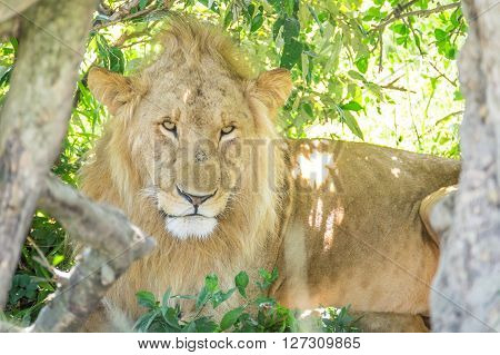 Sleepy male lion resting in the bushes in the Maasai Mara national park (Kenya)