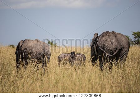 African elephant family walking through the high grass in the Maasai Mara national park (Kenya)