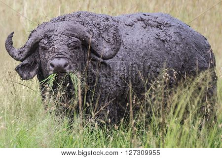 Dirty African buffalo chewing grass in the Maasai Mara national park (Kenya)
