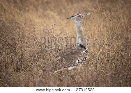 Kori bustard in one of the national parks of Tanzania