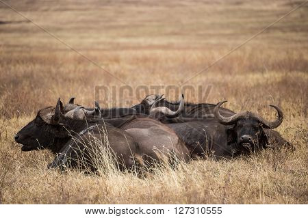Group of African buffalos resting n the grass of the Ngorongoro national park (Tanzania)