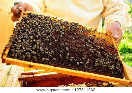beekeeper keeps bees honeycombs wax and propolis
