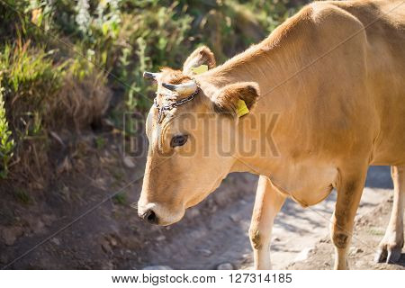 Brown dairy cow on a summer pasture. There are cows on the pasture.