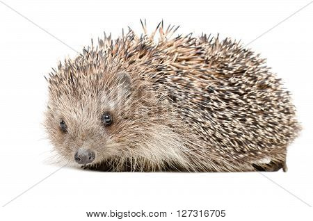 Portrait of a cute hedgehog isolated on white background ** Note: Soft Focus at 100%, best at smaller sizes