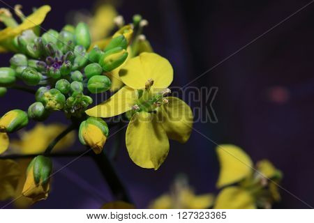 In March 2016, rape flowers macro photo, HD,Brassica napus;  Canola;  Brassica napus L