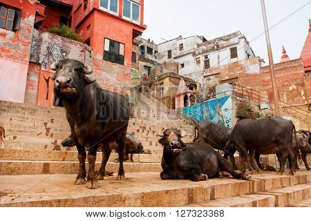 VARANASI, INDIA - JANUARY 2, 2013: Many black buffalos have rest on the streets of the oldest city in the world on January 2, 2013. Varanasi has a population of 1435113 peopleonly 4 perc. work in agriculture