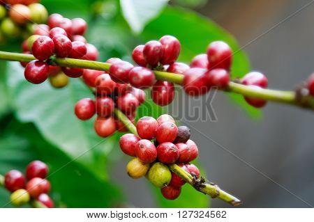 Ripe berries on coffee tree in farm. Food and drink coffee