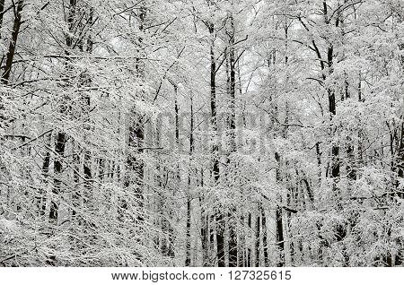 Winter landscape. Deciduous forest covered with snow and hoarfrost.