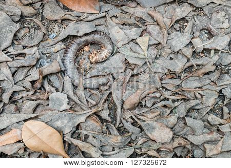 Closeup dirty floor with dried leaves and carrion of millipede
