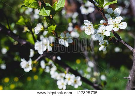 The branch blossoming plum in the garden