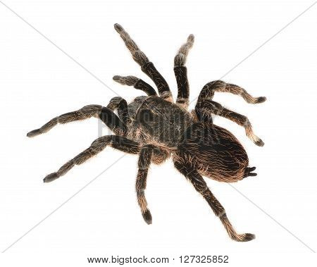 Black curly-hair tarantula Brachypelma albopilosum isolated over white