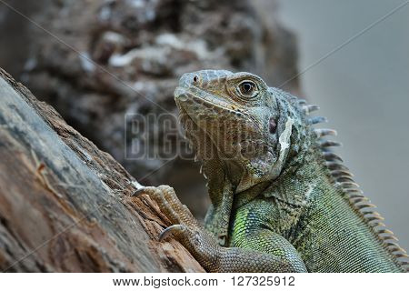 Common Green Iguana Resting On A Tree Looking To The Front
