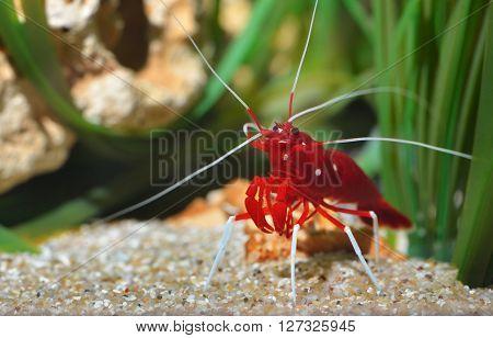 Small ornamental red shrimp in aquarium environment