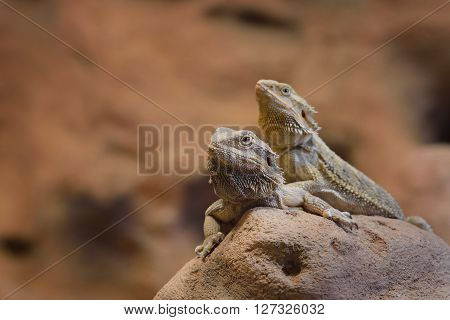 Central Bearded Dragon Pogona Vitticep. Pair Of Lizards Sitting On A Dry Rock In A Desert Environmen
